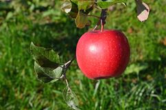 Apples on the tree Stock Image