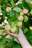 Apples on  tree in the garden Stock Photography