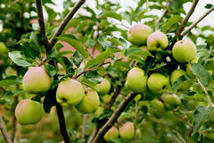 Apples on the tree Stock Photography