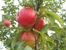 Apples on a tree in the garden stock image