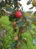 Apples on a tree in the garden royalty free stock photography