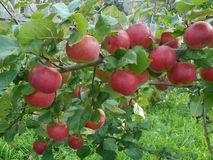 Apples on a tree in the garden royalty free stock images