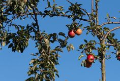 Apples on a tree in a garden stock photo