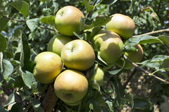 Apples on tree. Green apples on tree in garden Stock Images