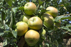 Apples on tree. Green apples on tree in garden stock photo