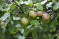 Apples on the tree. Green and red apples hanging on the tree Royalty Free Stock Images