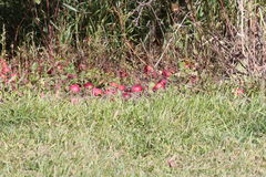 Apples on Tree and Ground. Ripe red apples on tree ready for harvesting, some fallen to the ground Royalty Free Stock Images