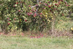 Apples on Tree and Ground. Ripe red apples on tree ready for harvesting, some fallen to the ground Royalty Free Stock Photography