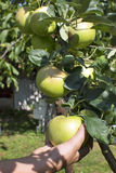 Apples on tree. Hand holding green apples on tree in garden Stock Images