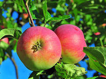 Apples in the tree Stock Photo