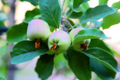 Apples on tree Stock Images