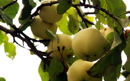 Apples in a tree stock image