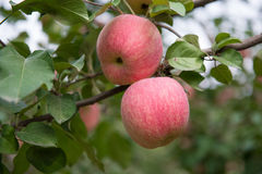 Apples on the tree Stock Photos