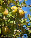 Apples on tree in orchard Stock Images