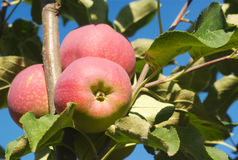 Apples in tree, orchard branch paula red Stock Image