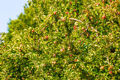Apples on a tree in an orchard Royalty Free Stock Photos