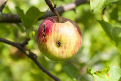 Apples on the tree Royalty Free Stock Image