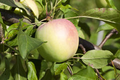 Apples on the tree Royalty Free Stock Photography
