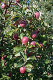 Apples on the tree ready for harvest Stock Images