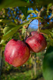 Apples on tree Royalty Free Stock Images