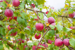 Apples on tree Royalty Free Stock Image