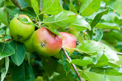 Apples in a tree Royalty Free Stock Image