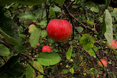 The apples on the tree. Ripe juicy apples on tree branches Stock Photography