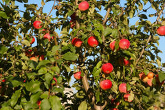 Apples on the tree. Ripe red apples on a branch Stock Image