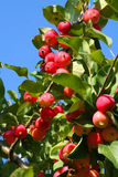 Apples on the tree. Ripe red apples on a branch against the sky Royalty Free Stock Photos