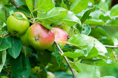 Apples in a tree Royalty Free Stock Photos