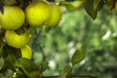 Apples on the tree. Selective focus. Copy space Royalty Free Stock Image