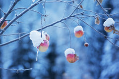 Apples on tree and snow Stock Images