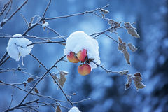 Apples on tree and snow Stock Photo