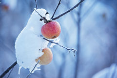 Apples on tree and snow Royalty Free Stock Photo