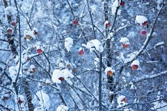 Apples on tree and snow Royalty Free Stock Images