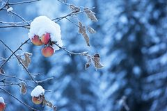 Apples on tree and snow Stock Photos