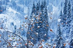 Apples on tree and snow in mountains Stock Photo