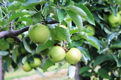 Apples on the tree in Steinsel. Apples. Fruits of the apple trees Royalty Free Stock Photos