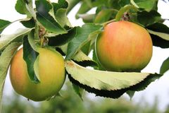 Apples on the tree in Steinsel. Luxembourg. Apples. Fruits of the apple trees Stock Image