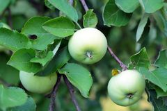 Apples on the tree Stock Images