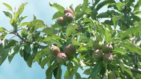 Apples in the tree on a sunny day. Apples production in Southern Brazil stock video
