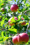 Apples in a tree Royalty Free Stock Photography