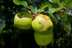 Apples in tree Royalty Free Stock Image