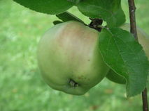 Apples in a tree. Two apples in a tree Royalty Free Stock Photos