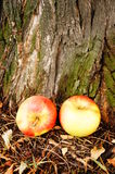 Apples by tree Stock Photography