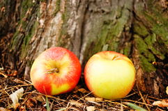 Apples by tree Stock Photos