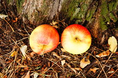 Apples by tree Royalty Free Stock Image