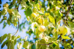 Apples on a tree Royalty Free Stock Photos