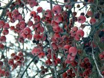 Apples on a tree in winter Royalty Free Stock Photos