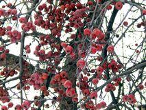 Apples on a tree in winter Stock Photos